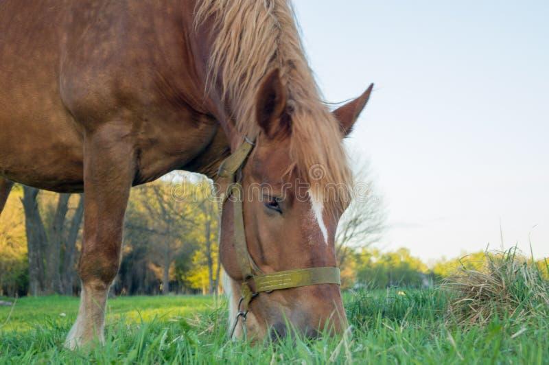 Cavallo del Brown che mangia erba sul campo fotografie stock