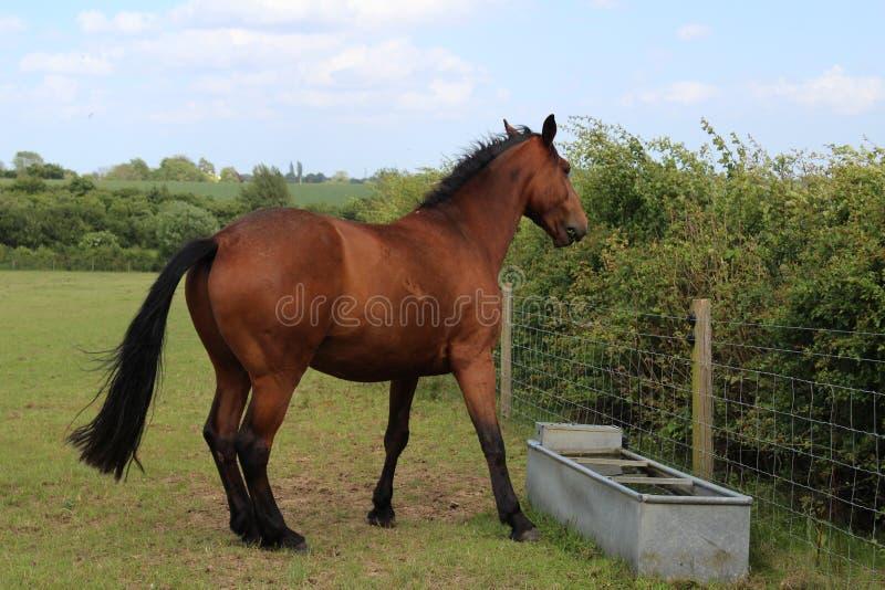 Cavallo del Brown che si leva in piedi sull'erba fotografia stock libera da diritti