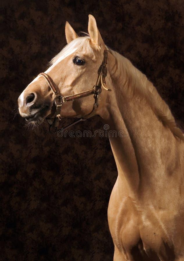 Cavallo del Palomino immagine stock libera da diritti