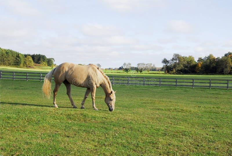 Cavallo del Palomino che pasce in un campo immagini stock