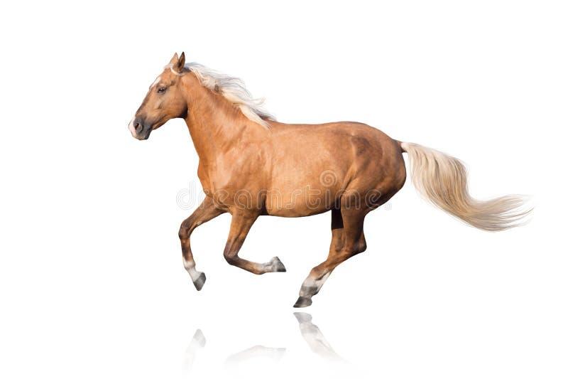 Cavallo del palomino con il funzionamento lungo della criniera fotografia stock libera da diritti