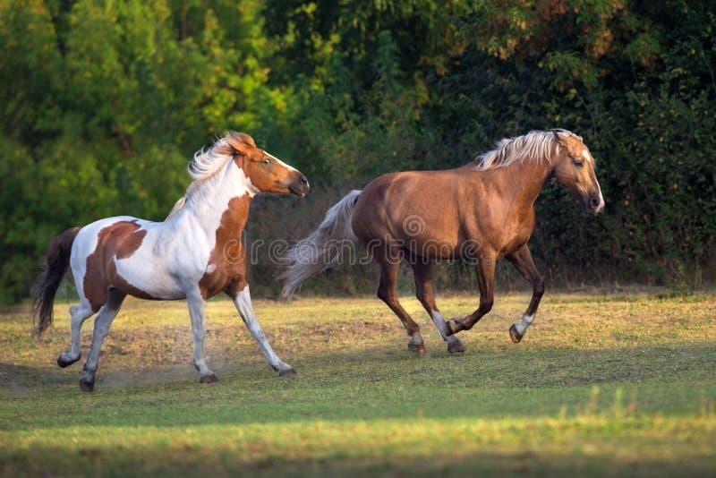 Cavallo del palomino e screziato fotografia stock libera da diritti