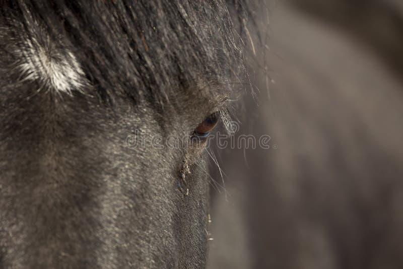 Cavallo del percheron del primo piano