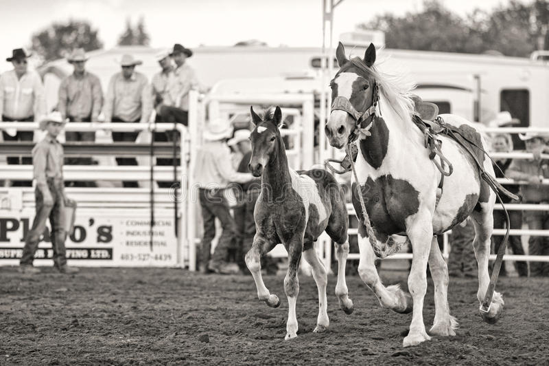 Cavallo del rodeo con il puledro immagine stock