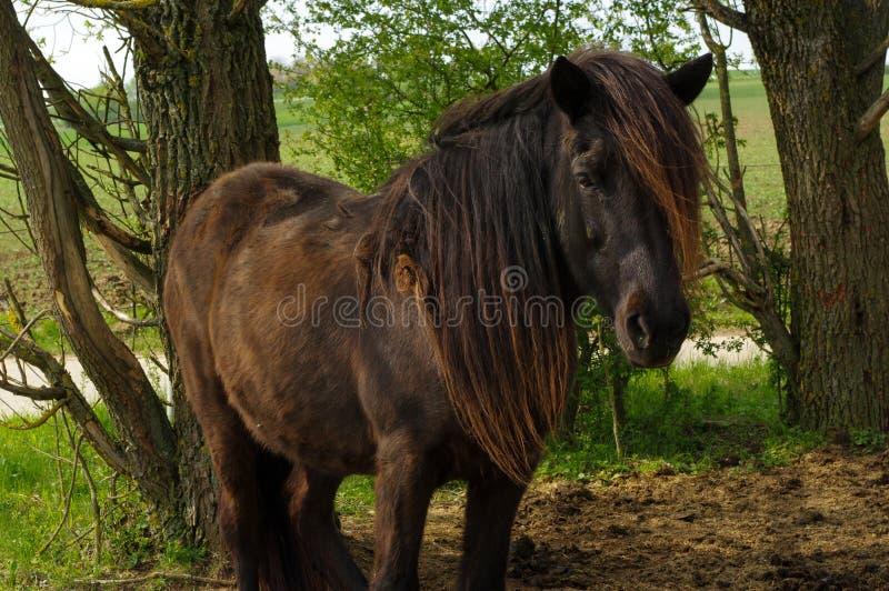 Cavallo dell'Islanda di marrone scuro che sta sul pascolo e sul medow verde fra gli alberi fotografie stock libere da diritti
