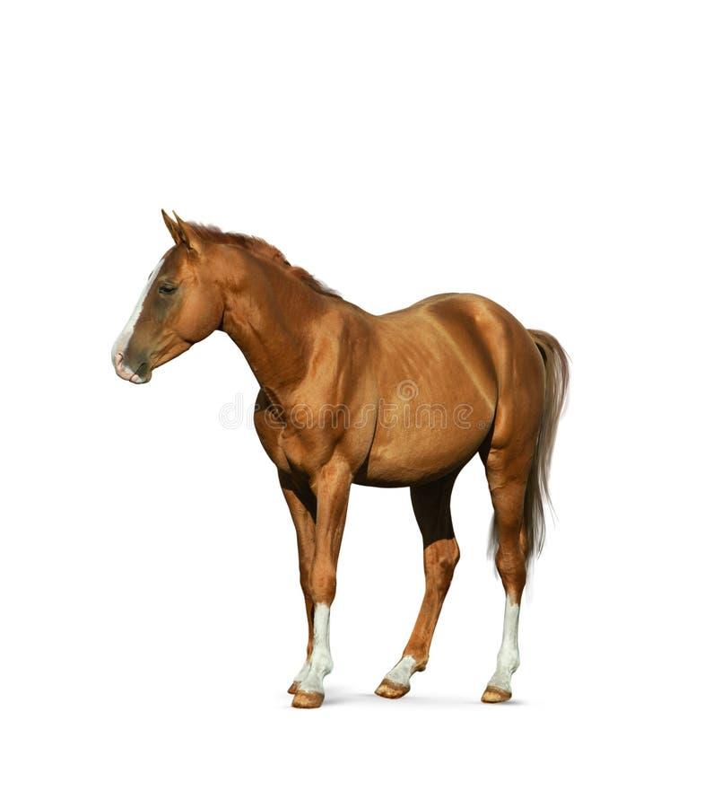 Cavallo della castagna isolato immagini stock libere da diritti