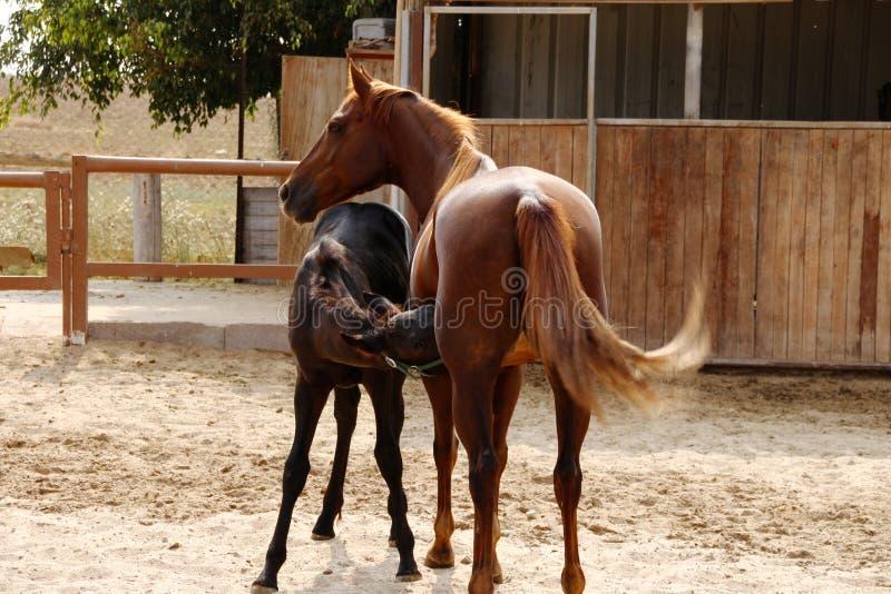 Cavallo della mamma e puledro del bambino fotografie stock libere da diritti