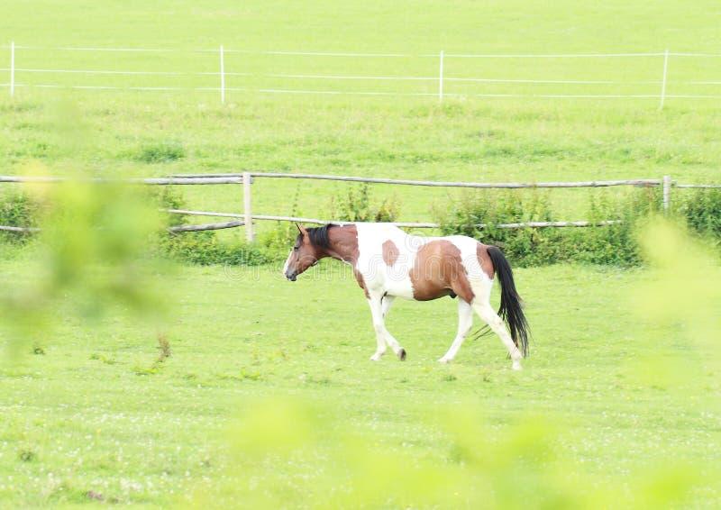 Cavallo della mucca fotografia stock libera da diritti