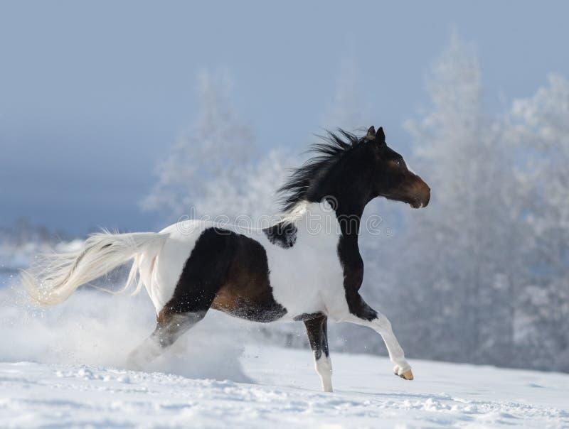 Cavallo della pittura che galoppa attraverso il prato nevoso di inverno fotografia stock libera da diritti