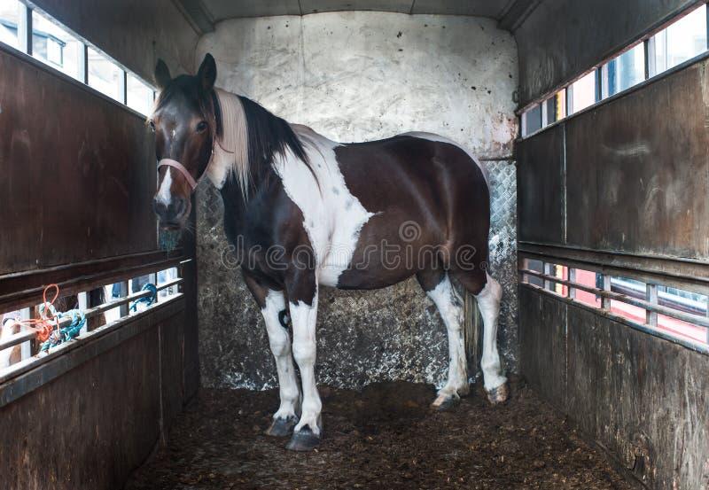 Cavallo dentro il rimorchio della scatola di cavallo fotografia stock