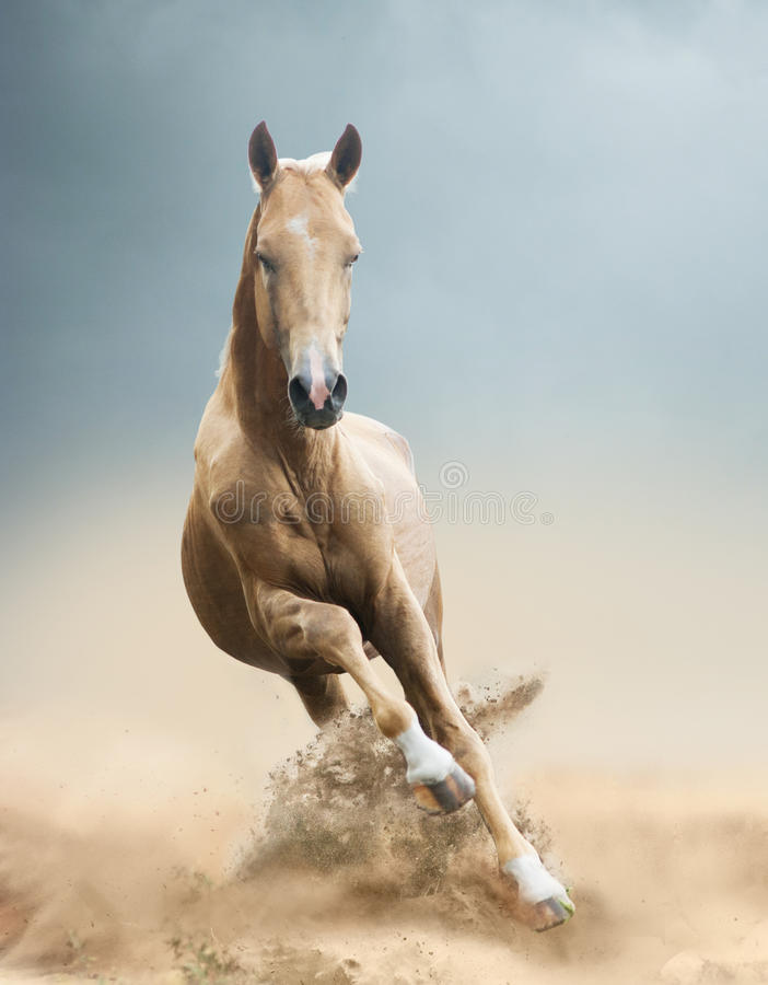 Cavallo di Akhal-teke in deserto fotografie stock