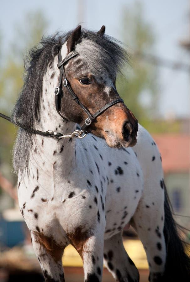 Cavallo di Appaloosa in estate. fotografia stock libera da diritti