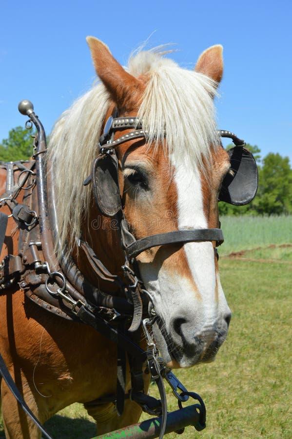 Cavallo di aratro immagine stock libera da diritti
