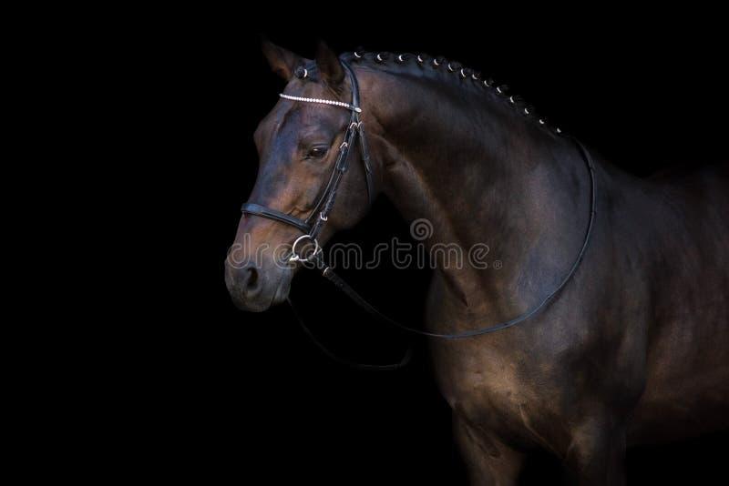 Cavallo di baia in briglia immagini stock