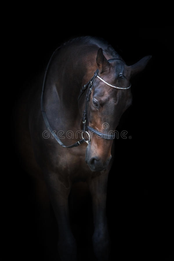 Cavallo di baia in briglia immagini stock libere da diritti