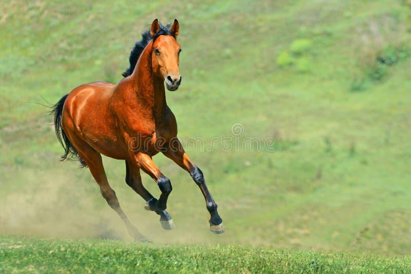 Cavallo di baia che funziona nel campo fotografie stock