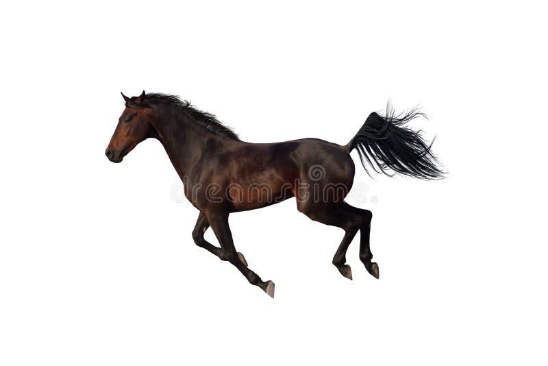 Cavallo di baia che galoppa sul fondo bianco fotografia stock libera da diritti