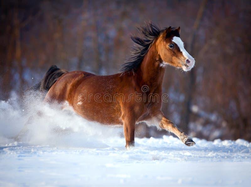 Cavallo di baia che galoppa velocemente nell'inverno fotografia stock libera da diritti