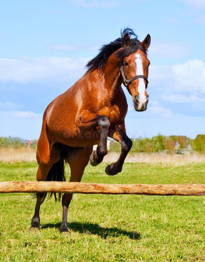 Cavallo di baia che salta sopra una transenna riderless immagini stock libere da diritti