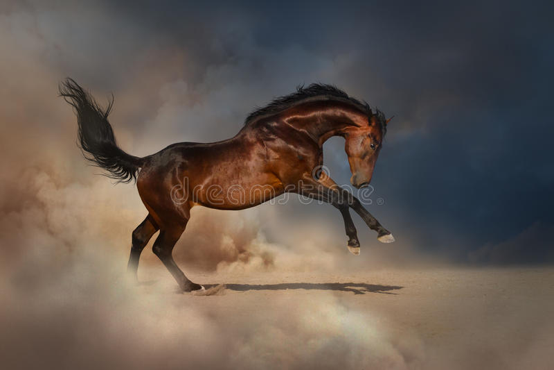 Cavallo di baia in polvere immagini stock libere da diritti
