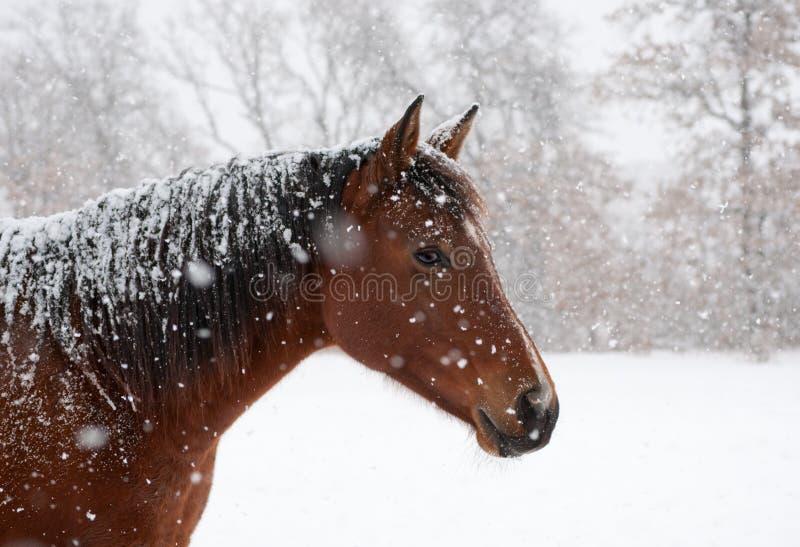 Cavallo di baia rossa nella caduta della neve pesante fotografia stock libera da diritti