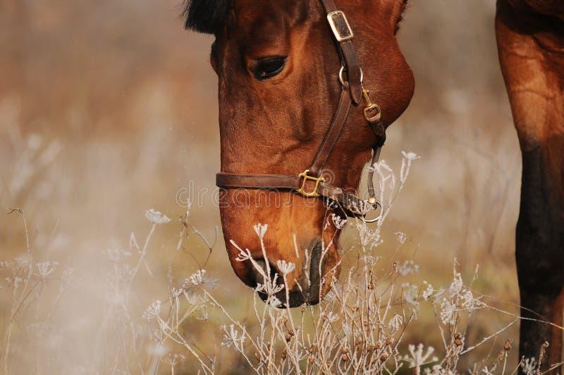 Cavallo di baia sul campo in capezza di cuoio fotografia stock libera da diritti