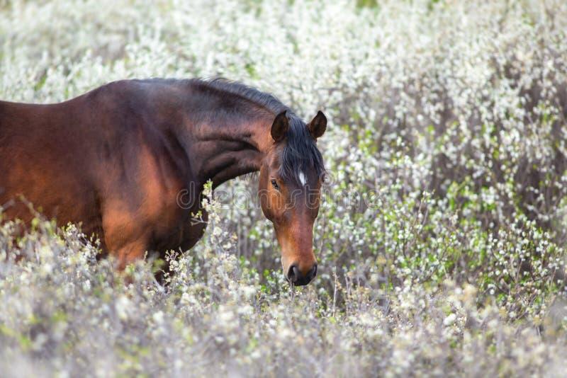 Cavallo di baia sul fiore della molla fotografie stock libere da diritti