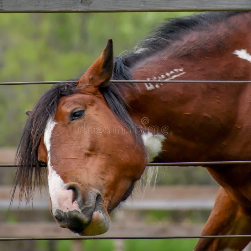 Cavallo di Brown che dà una occhiata alla testa tramite il recinto fotografia stock