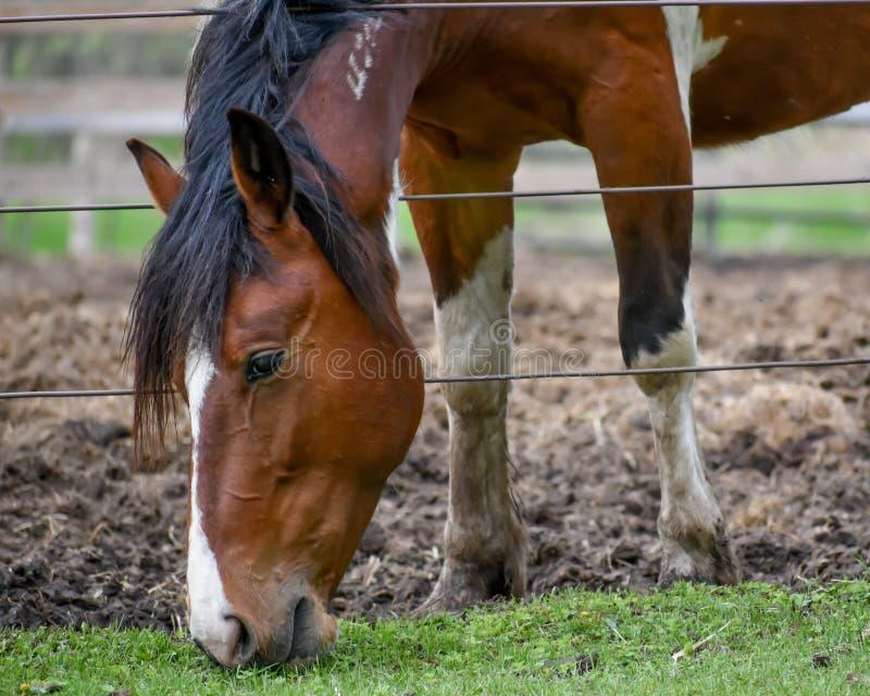 Cavallo di Brown che mangia erba dall'altro lato del recinto immagine stock