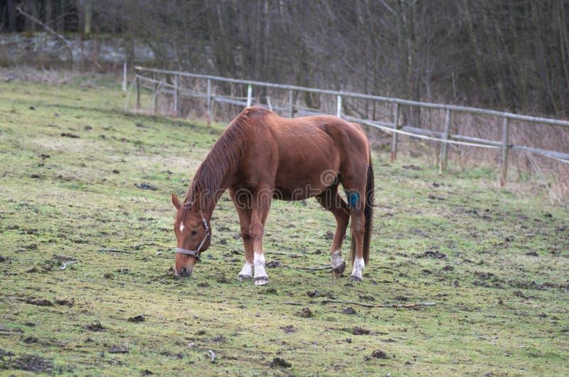 Cavallo di Brown che mangia erba sul campo nell'inverno fotografia stock