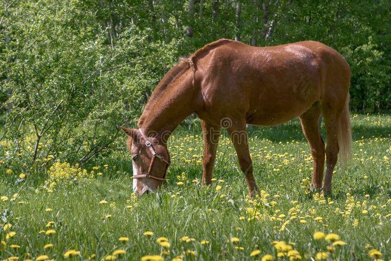 Cavallo di Brown che pasce fotografie stock libere da diritti