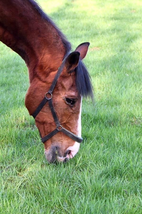 Cavallo di Brown che pasce sul pascolo immagini stock libere da diritti
