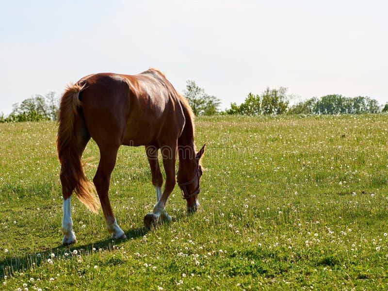 Cavallo di Brown che pasce sul prato verde con il dente di leone dei fiori bianchi fotografia stock