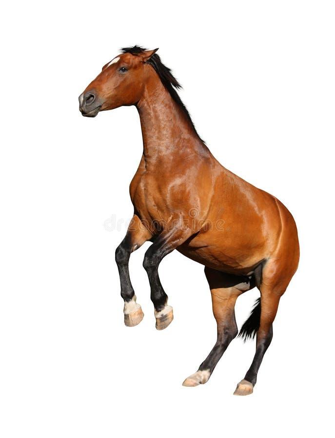 Cavallo di Brown che si eleva su isolato su bianco immagini stock