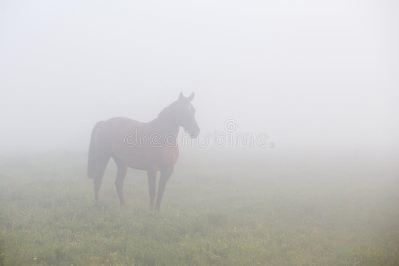 Cavallo di Brown in nebbia di mattina fotografia stock