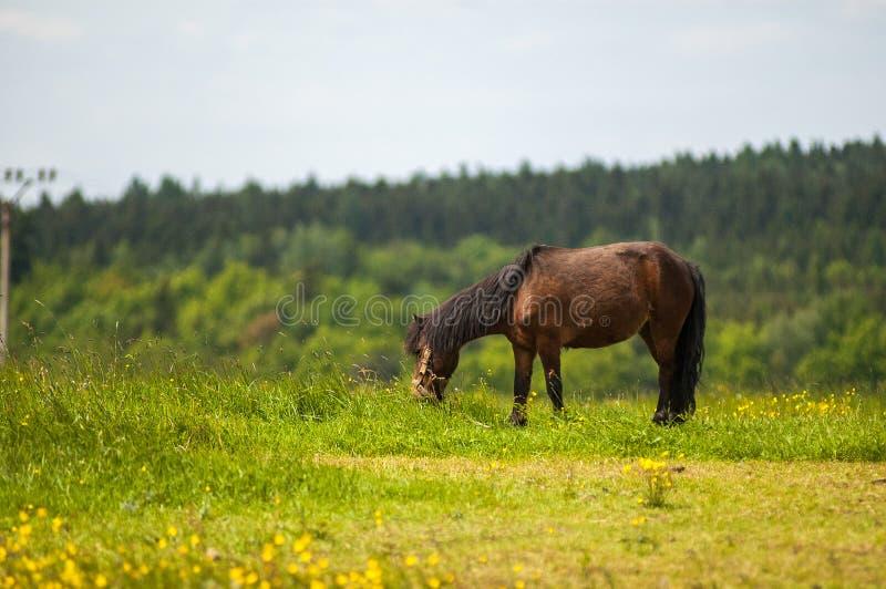Cavallo di Brown nel pascolo fotografie stock libere da diritti