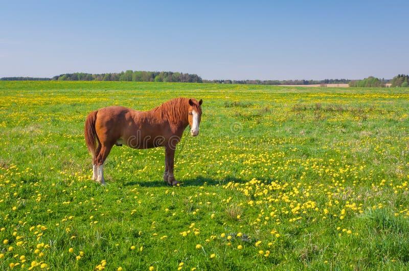 Cavallo di Brown su un campo verde con i denti di leone immagine stock