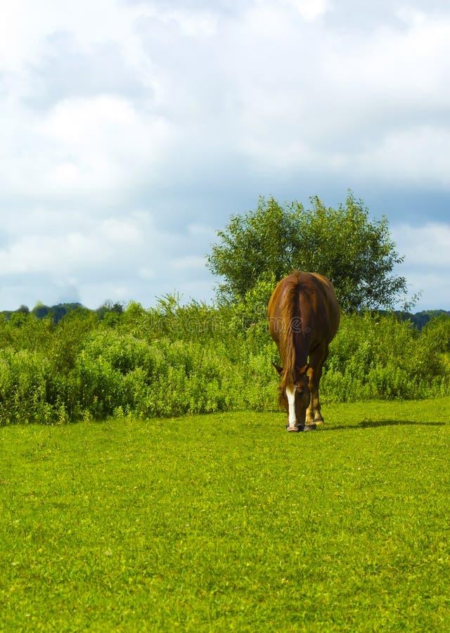 Cavallo di Brown sulla radura verde fotografia stock libera da diritti