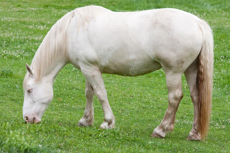 Cavallo di cambiale crema americano fotografia stock libera da diritti