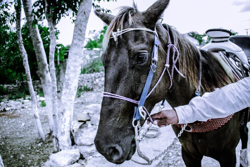 Cavallo di Chulada fotografie stock libere da diritti