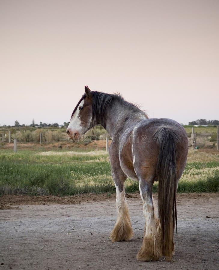 Cavallo di Clydesdale fotografie stock libere da diritti