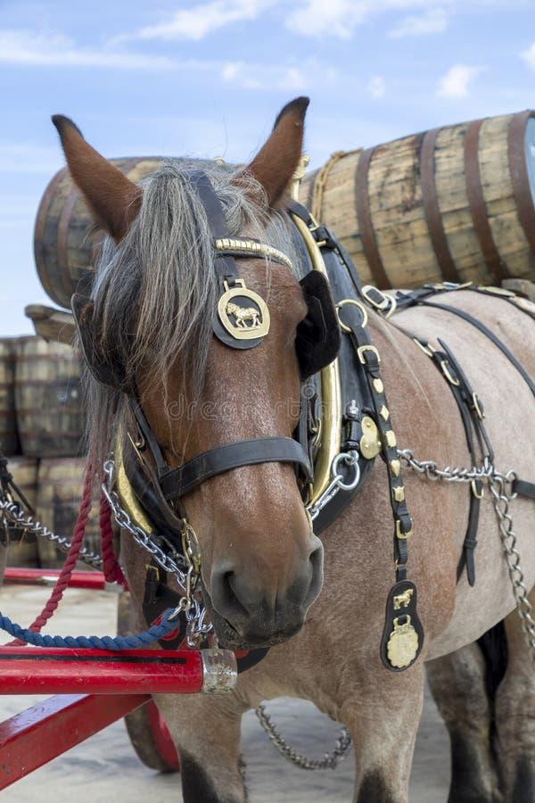 Cavallo di Dray immagini stock libere da diritti