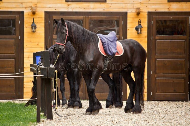 Cavallo di Frisian fotografia stock