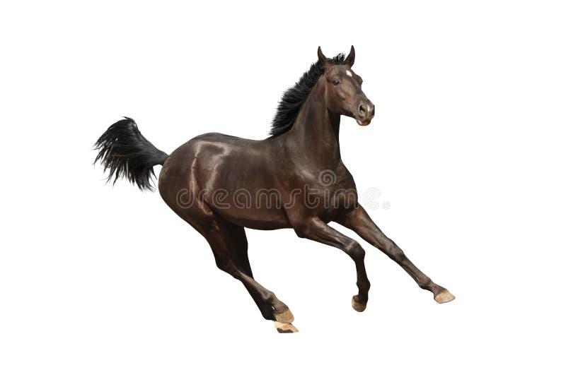 Cavallo di galoppo isolato fotografia stock libera da diritti