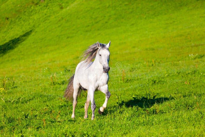 Cavallo di Gray Arab fotografie stock