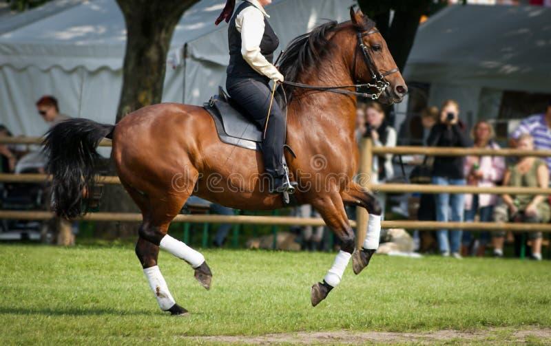 Cavallo di Lipizzan in concorrenza immagine stock libera da diritti