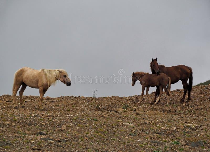 Cavallo di mare con foal e colt fotografia stock