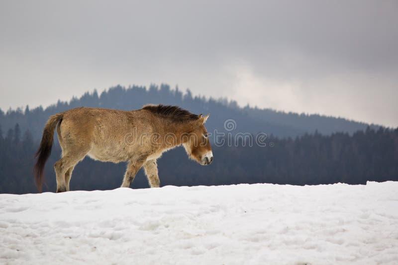 Cavallo di Przewalski immagini stock