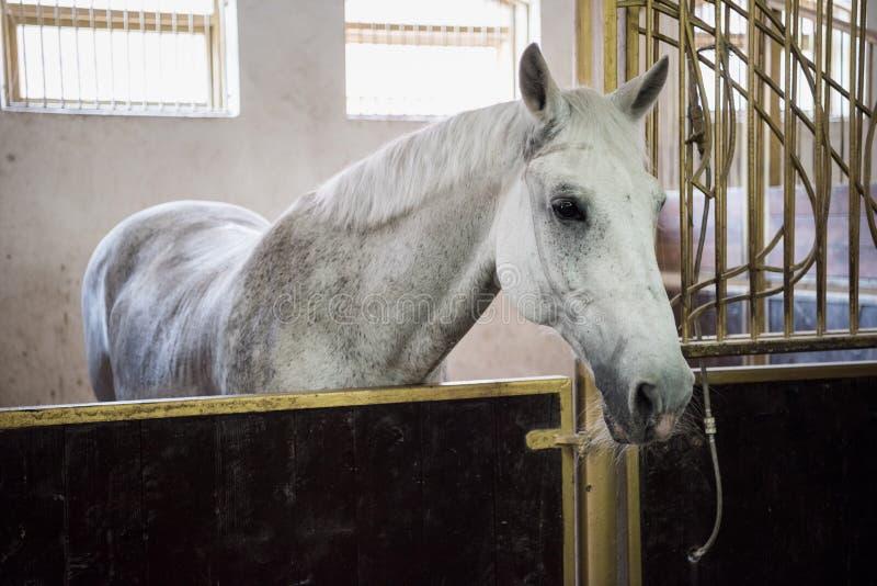 Cavallo di razza bianco che sta nella stalla e che esamina macchina fotografica fotografie stock