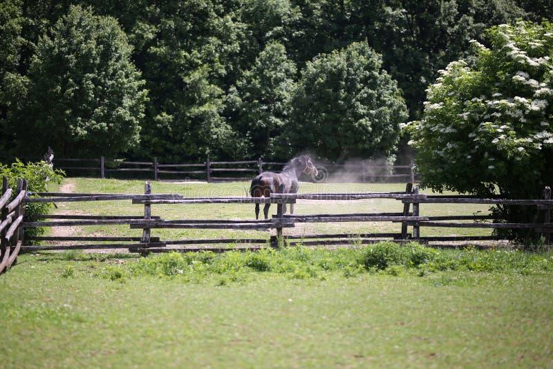 Cavallo di razza dopo la sabbiatura che scuote la polvere immagine stock